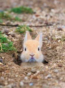 Bunny poking her head out